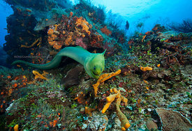 Large freeswimming green moray eel on Columbia divesite, underwater, Cozumel, Mexico