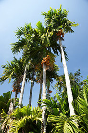 Palm trees with fruit