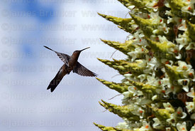 Giant hummingbird (Patagona gigas) and Puya raimondii plant