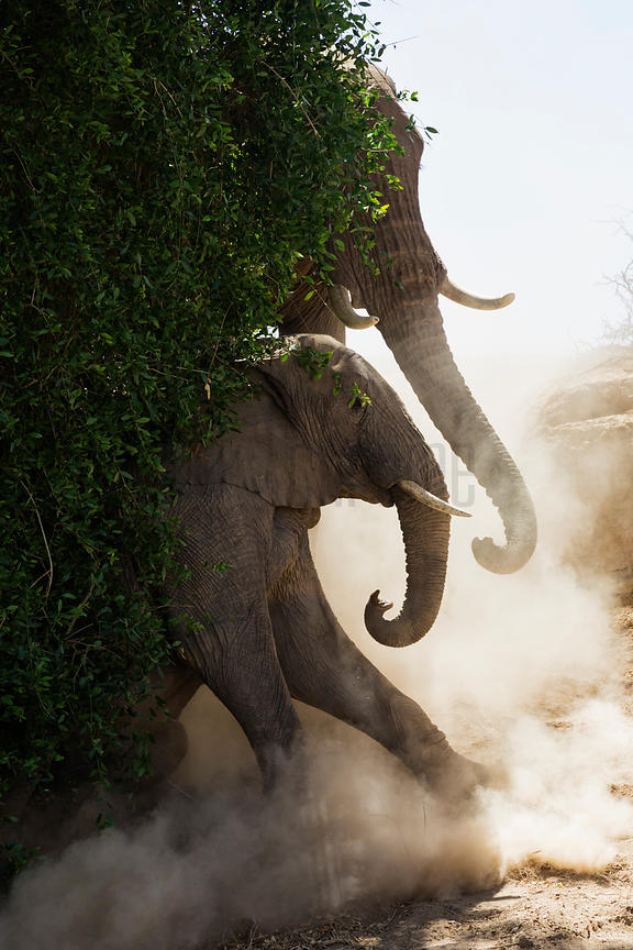 Desert Adapted Elephants Dust Bathing