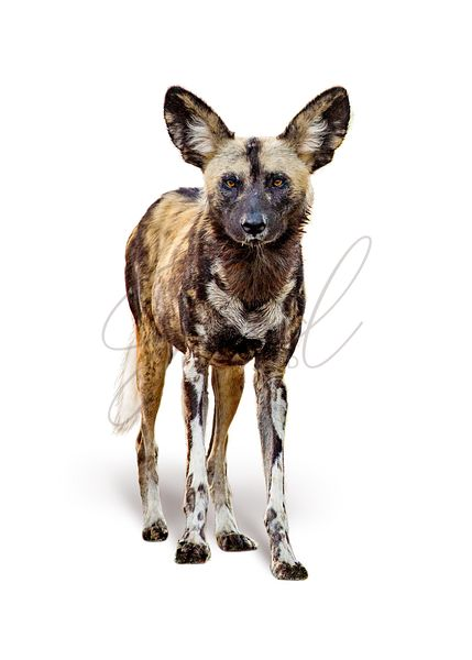 African Wild Painted Dog Isolated on White