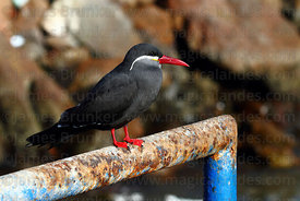 Adult Royal or Inca tern ( Lorosterna inca )