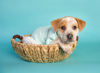 white and tan puppy in light blue onesie in a basket on turquoise paper