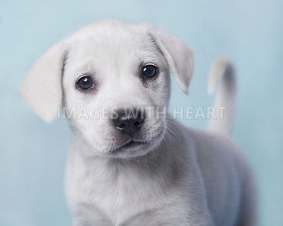 Head shot of white puppy dog looking at camera
