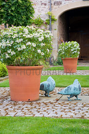 Choisya ternata (Mexican orange blossom) in terra cotta pots; bronze pigeons by Shona Kinloch