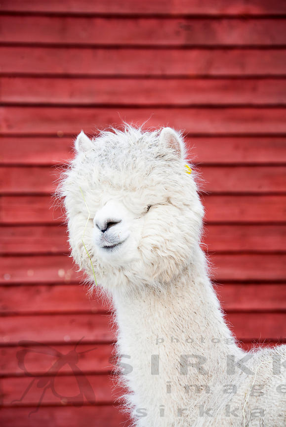Alpaca photos
