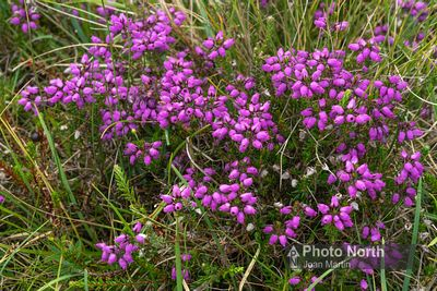 Bell heather - Erica cinerea