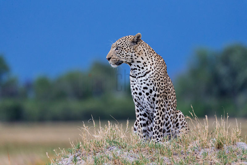 Male Leopard on Anthill at Dusk