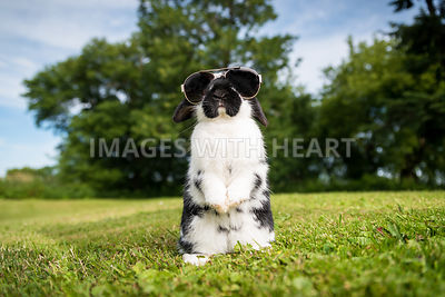 holland_lop_rabbit_bunny_begging_sunglasses