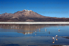 Flamingos feeding at Salar de Surire , Region XV , Chile