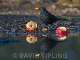 Blackbird, Turdus merula, male feeding on apples in garden Norfolk winter