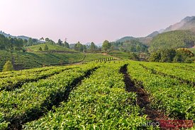 Green tea plantation, Lao Cai, Vietnam