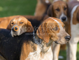 Belvoir foxhounds at the meet at Sheepwash