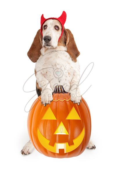 Halloween Dog With Devil Horns and Pumpkin