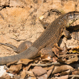 Lizards wildlife photos