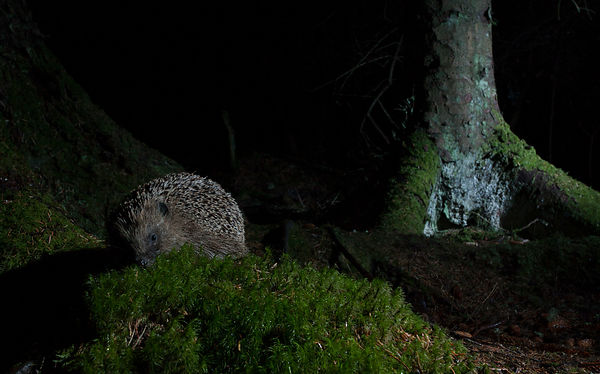 A surprise visitor on the camera trap - a Hedgehog found my set-up!