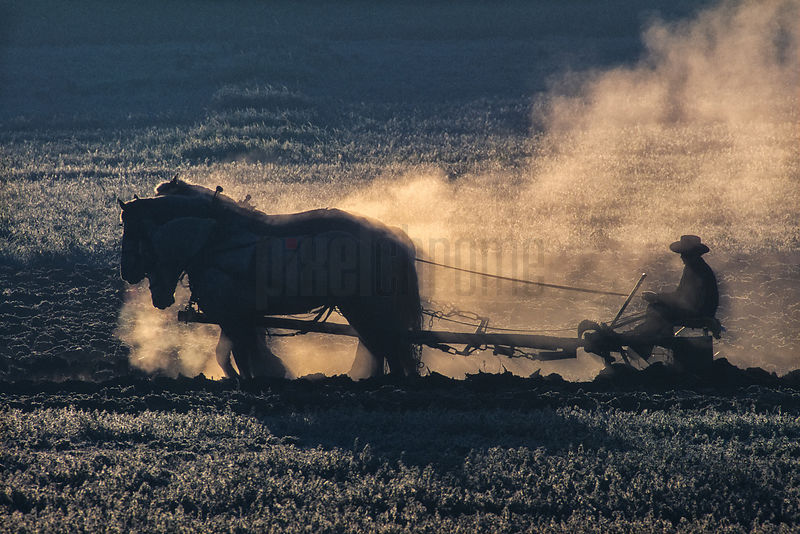 Draft Ponies Pulling a Plough on a Cool Morning