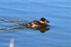Adult female Andean Ruddy duck (Oxyura jamaicensis ferruginea)