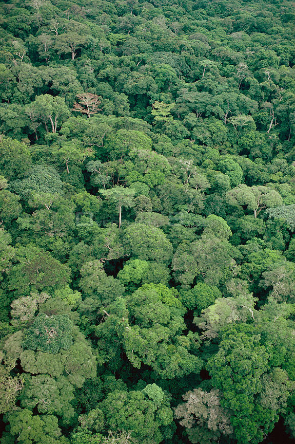 Aerial view of troical rainforest tree canopy Rainy season. Epulu Ituri rainforest reserve. Republic of Congo (formerly Zaire)