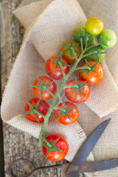 red and green cherry tomatoes on vine with scissors, against wood and sack cloth
