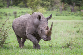 White Rhino (Ceratotherium simum) alongside the S145, Kruger National Park,  South Africa; Landscape