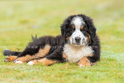 Bernese Mountain Dog photos