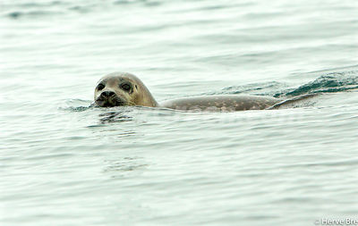 Grey Seal in The Minch - Scotland