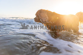 Sunlight streaming over dog in the water at the beach