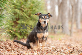medium sized black and tan mutt sitting in leaves with trees in the background