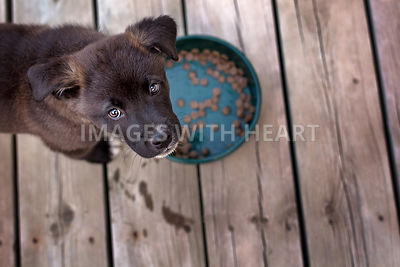 Young dog eating kibble