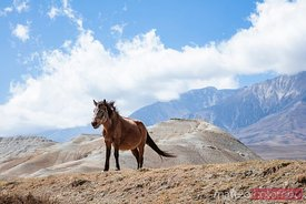 Wild horse near Lo Manthang, Upper Mustang region, Nepal