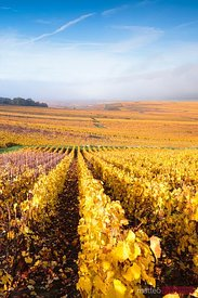 Vineyards, Verzenay, Champagne Ardenne, France