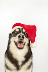 Happy Husky in Santa Hat
