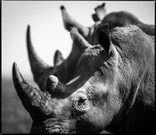 44324-Superposition_of_two_white_rhinos_Kenya_2013_Laurent_Baheux