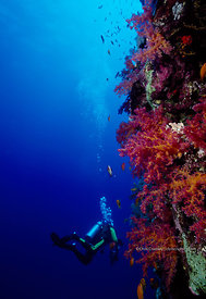 Egypt, Red Sea, Abu Kefan Reef, diver swims by wall, underwater