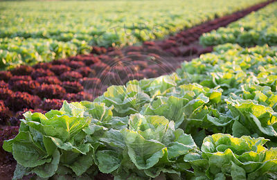 purple and green lettuces growing in field, Mallorca at sunrise