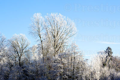 Frost covered trees against blue sky