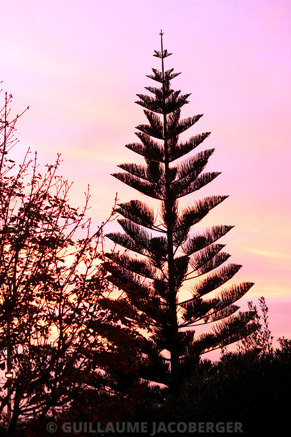 Pinetree_on_sunset_01