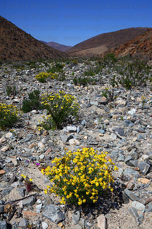 Flowering Desert in Llanos de Challe National Park , Region III , Chile