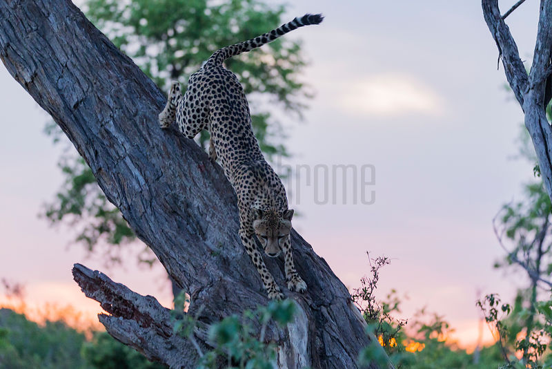 Cheetah Climbing out of a Tree at Sunset