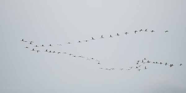 A group spoonbills in migration over the North Sea photos