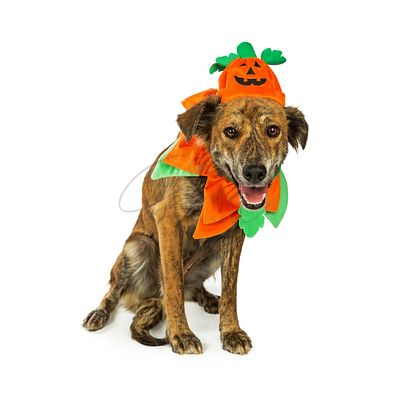 Happy Hound in Pumpkin Costume