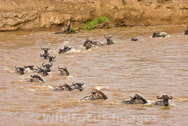 Wildebeest crossing the Mara River, Connochaetes mearnsi/albojubatus, Masai Mara National Reserve, Kenya; Landscape