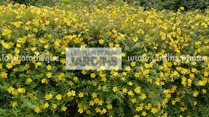 la phototh que les plus beaux jardins haie hedge hypericum patulum hidcote millepertuis. Black Bedroom Furniture Sets. Home Design Ideas