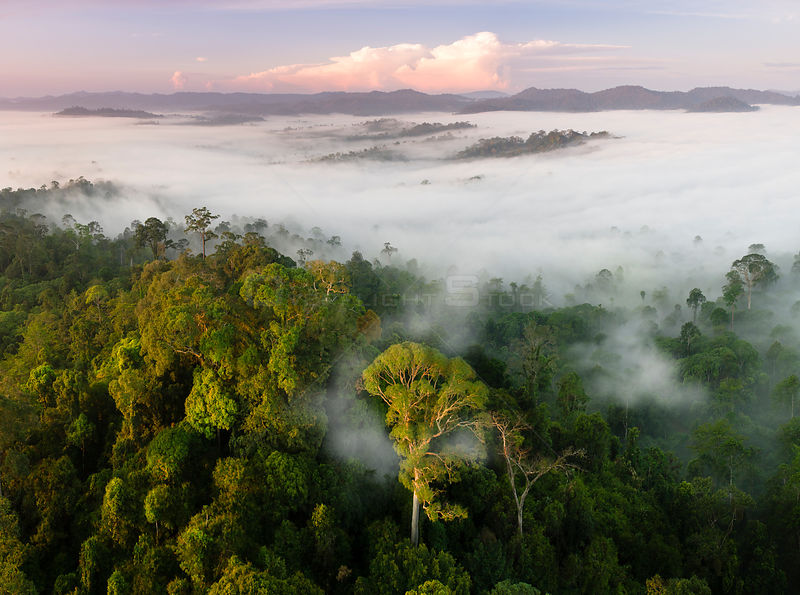 Mist and low cloud hanging over lowland rainforest, just after sunrise, with Menggaris Tree (Koompassia excelsa) prominent in the foreground. Danum Valley, Sabah, Borneo.