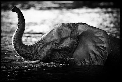 7969-Elephant_crossing_the_river_Botswana_2010_Laurent_Baheux