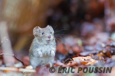 PHOTOGRAPHIES DE SOURIS CAMPAGNOL photos
