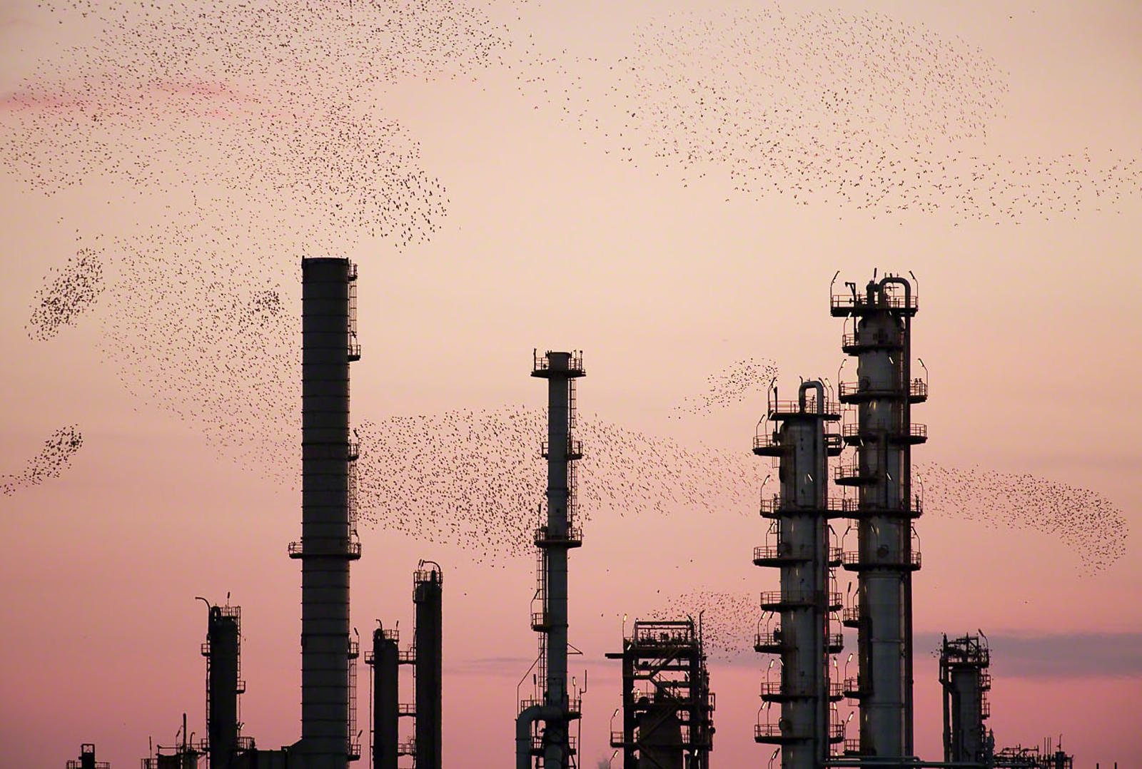 Refinery Flocks 11, 2006