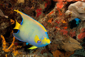 Queen angelfish on San Francisco Wall divesite, Cozumel, Mexico