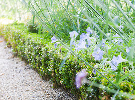 fotoflor toutes les photos et images de plantes fleurs jardins sur le th me haies. Black Bedroom Furniture Sets. Home Design Ideas